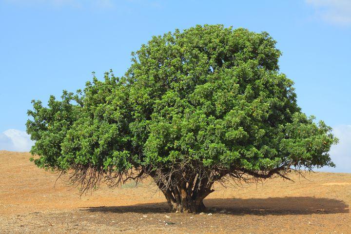 Дерево кэроб