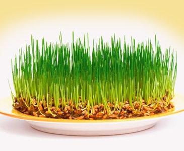 Как прорастить пшеницу. Ростки пшеницы в 2020 году