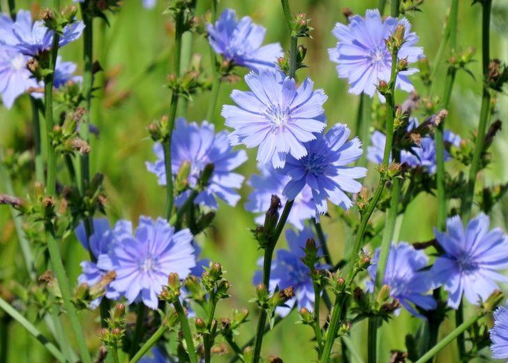 Полезное многолетнее растение семейства Астровые
